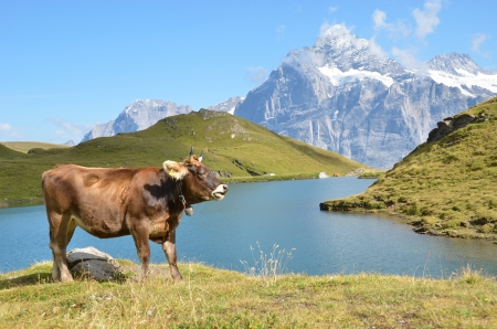 swiss alps: Krowy na łące Jungfrau regionu alpejskiego, Szwajcaria Zdjęcie Seryjne