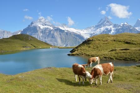 Krowy na Å'Ä…ce Jungfrau regionu Alp, w Szwajcarii