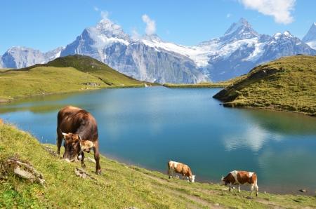 Koeien in een Alpine weide regio Jungfrau, Zwitserland