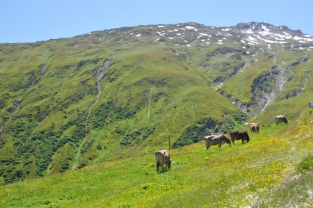 Vacas en Furka pass, Suiza photo