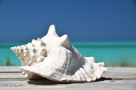 conch shell: Conch against ocean. Exuma, Bahamas