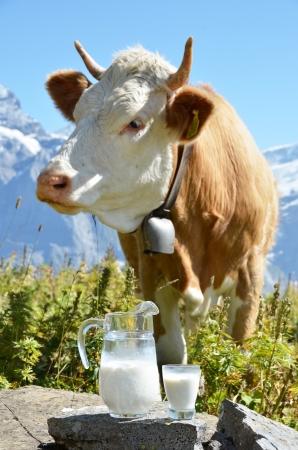 vacas lecheras: Jarra de leche contra el reba?o de vacas. Jungfrau Region, Suiza
