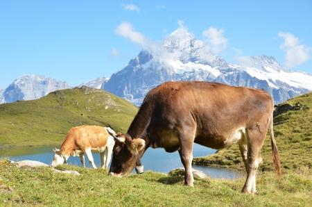 Cow in an Alpine meadow. Jungfrau region, Switzerland  photo