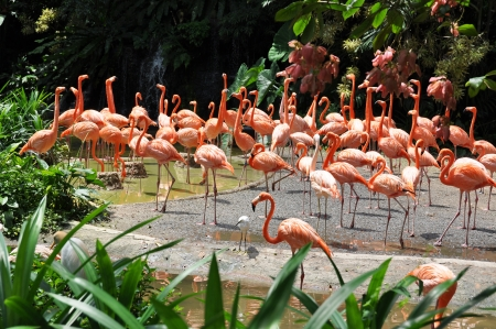 Caribbean flamingos  photo