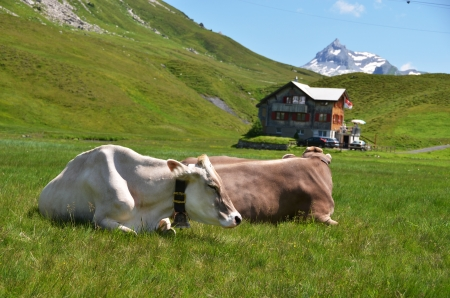 Cows in an Alpine meadow  Melchsee-Frutt, Switzerland photo
