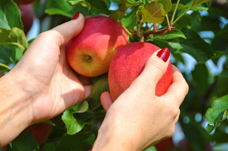 garden of eden: Red apples in the hands  Stock Photo
