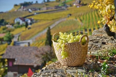 Basket of grapes. Lavaux region, Switzerland photo