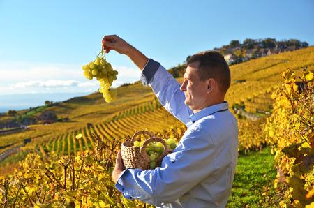 grape field: Man holding a basket of grapes. Lavaux region, Switzerland
