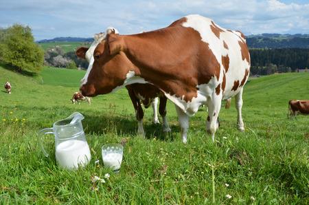 vacas lecheras: La leche y las vacas. La región de Emmental, Suiza