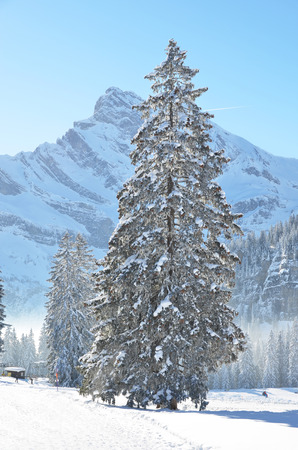 snow tree: Braunwald, Switzerland Stock Photo