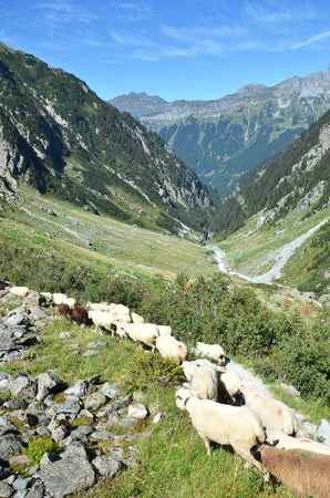national: Flock of sheeps in the mountains near Trift glacier. Switzerland