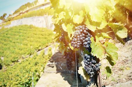cluster house: Vineyards in Lavaux, Switzerland