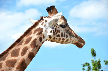 reticulated: Giraffe