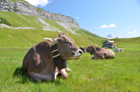 Cows in an Alpine meadow. Melchsee-Frutt, Switzerland 免版税图像