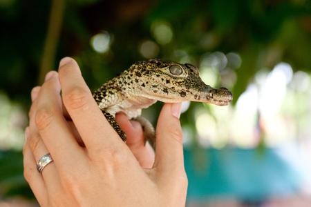 Little crocodile