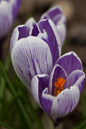 Krokusblüten im Garten Stock Photo