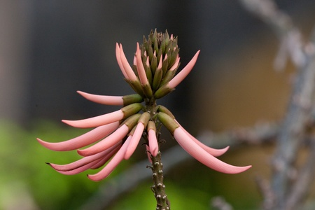 erythrina: erythrina speciosa Stock Photo