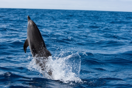 Dolphin in the ocean of canary islands