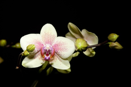 detail of a phalaenopsis hybride orchid