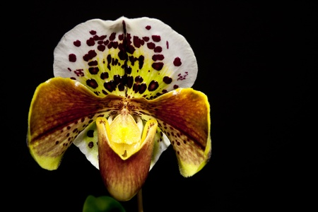 detail of a Paphiopedilum Hybride orchid
