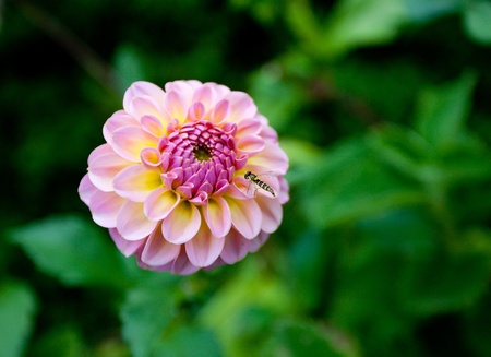 Detail shot of a Zinnia violacea with green background