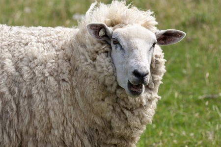 bleating: Head of a bleating sheep Stock Photo