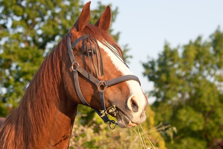 Head of a horse while eating grass