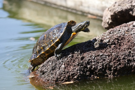 Turtle sitting on a stone taking a sunbath Stock Photo