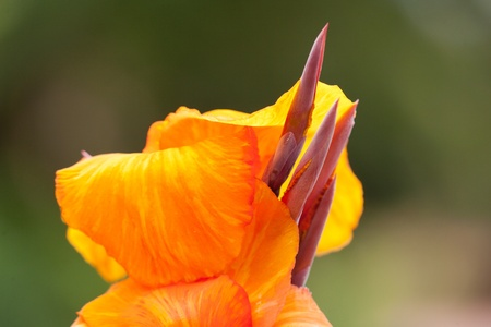 Closeup of the blossom of an Canna indica Stock Photo