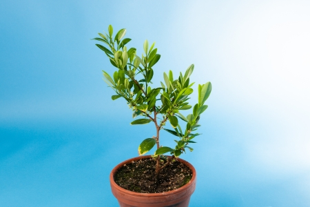 Coca plant, Erythroxylum coca growing in a pot against blue sky, used to extract cocaine from its dried leaves Stock Photo