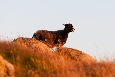 Brown woolly sheep standing on a hilltop against the skyline bleating with its mouth open on rocky farmland
