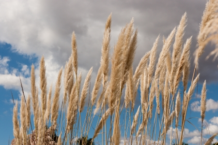 Clump of flowering golden Pampas grass with its ornamental feathery plumes against a cloudy blue autumn sky Stock Photo
