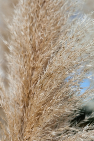 Close up of a Pampas grass inflorescence or flowering plume with its golden colour and feathery texture it makes a beautiful ornamental garden plant Stock Photo