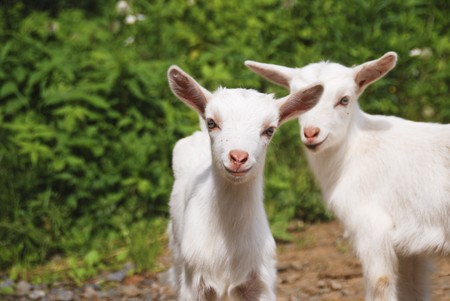 smiling little goats Stock Photo