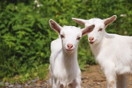 smiling goat: smiling little goats Stock Photo