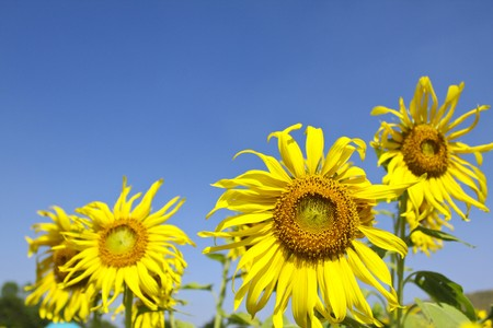 Sunflowers against in the clear blue sky Stock Photo - 7023138