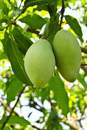 green mango: Green mango on tree