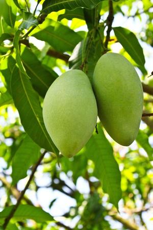 mango fruta: Mango verde en �rbol Foto de archivo