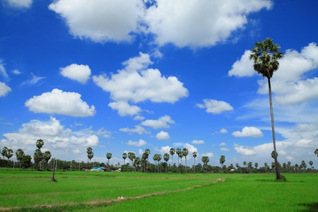 sugar palm: Sugar palm trees in the field ,thailand