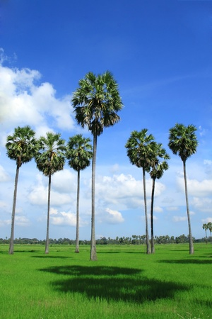 Sugar palm trees in the field ,thailand Stock Photo - 10179296