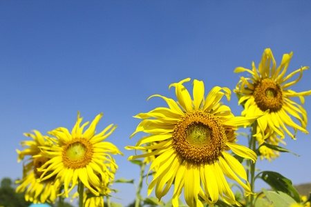 sunflowers with clear blue sky  photo