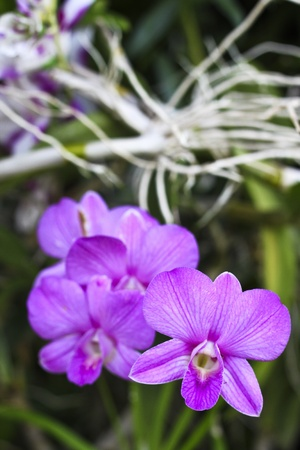 thai orchid: purple orchids in the garden Stock Photo