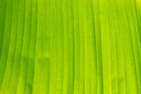 close up of banana leaf for background photo