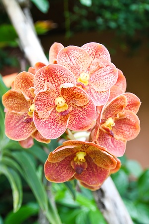 Beautiful orchids in the garden photo