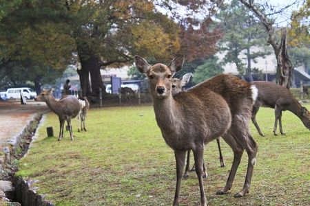 asia deer: deers in the park, japan Stock Photo