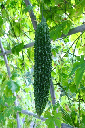 Bitter cucumber in farm photo