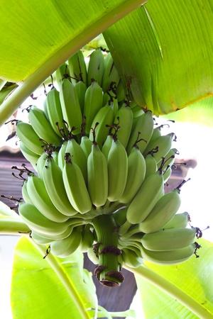 Green bananas on a tree photo