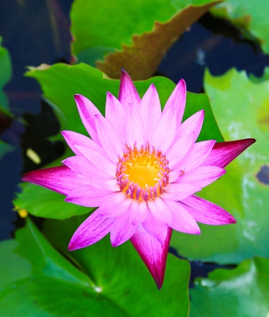 Beautiful blossom lotus flower in pond photo