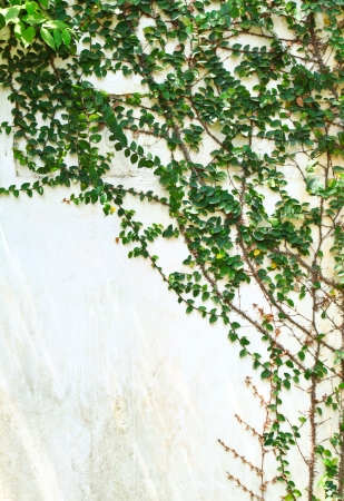 rambler: green creeper plant on white wall