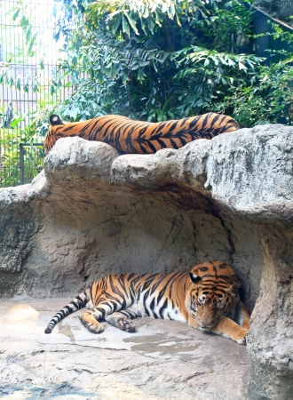 subspecies: Two tigers sleep on a rock in zoo  Stock Photo
